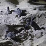 ウミガメ孵化